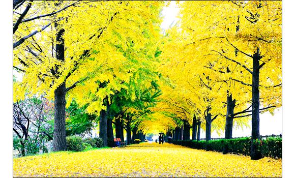 전국에서 꼽히는 아름다운 길 곡교천 은행나무길